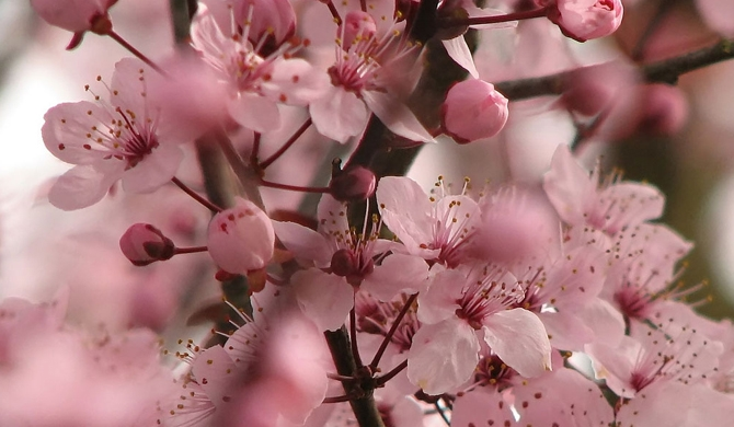 Cherry blossom splendour in Guizhou (Video)