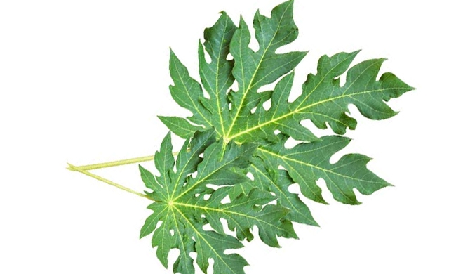 Papaya leaf extract as a Dengue cure?