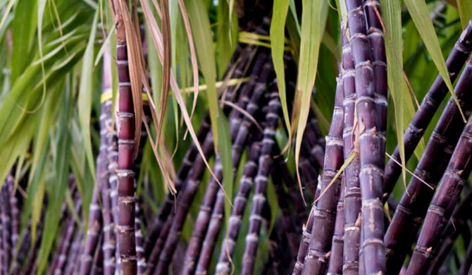 Sugarcane declared as major plantation crop