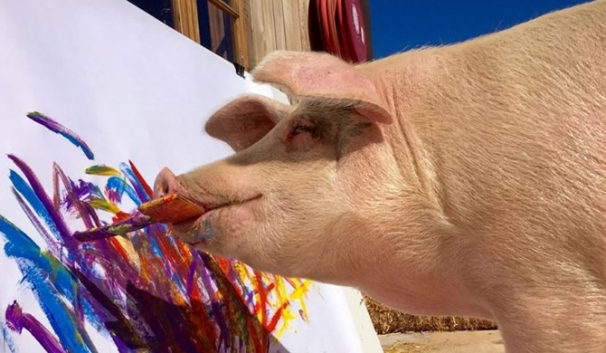 Pigcasso, the painting pig (Video)