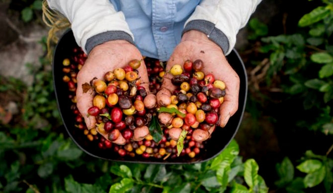 We drink two coffees out of more than 100 types growing naturally
