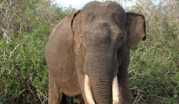 Yala gentle giant dies because of female tusker?