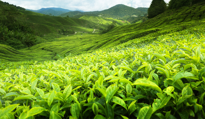 28% tea production wasted in SL - State Minister