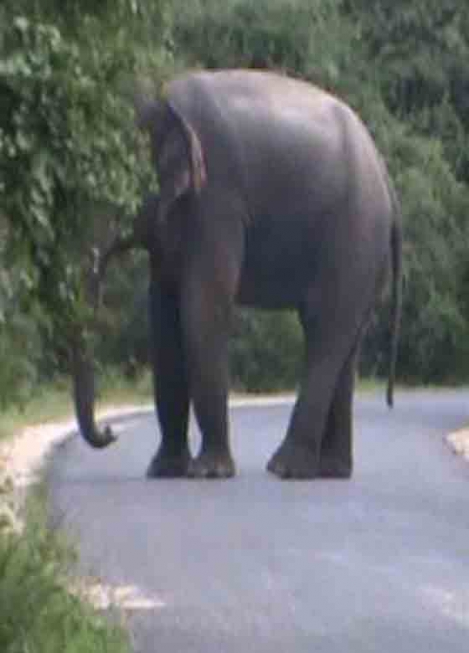 Rogue elephant rules Katukeliyawa-Diyabeduma road