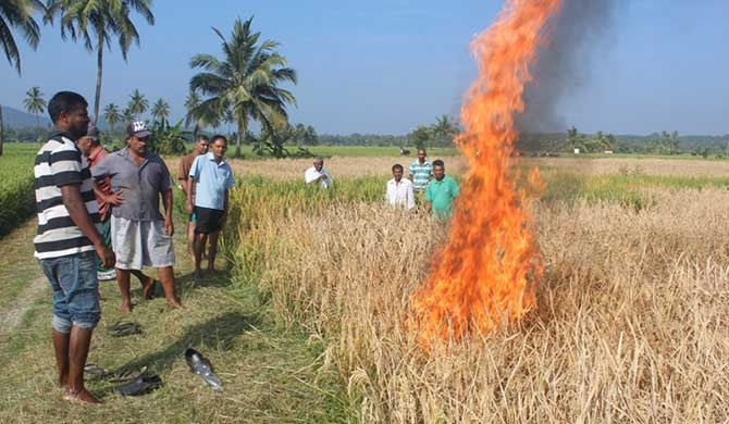 Farmers setting fire to the harvest