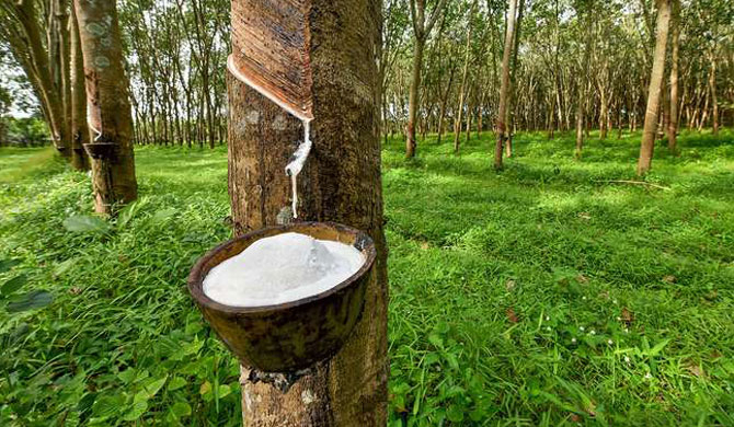 Farmers urged to protect rubber trees as prices go up