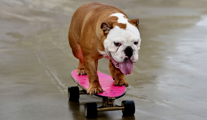 Pumpkin, the self-taught skateboarding bulldog (Video)