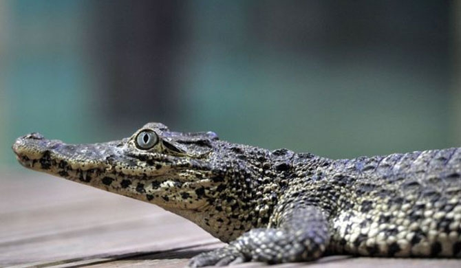 Fidel Castro's crocodile bites man at aquarium