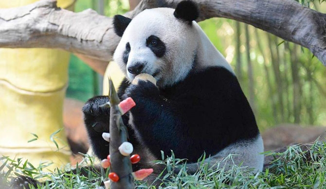 World's only panda triplets celebrate birthday (Pics)
