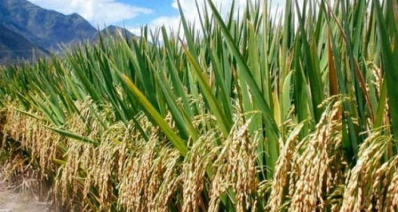Paddy farmers become hapless