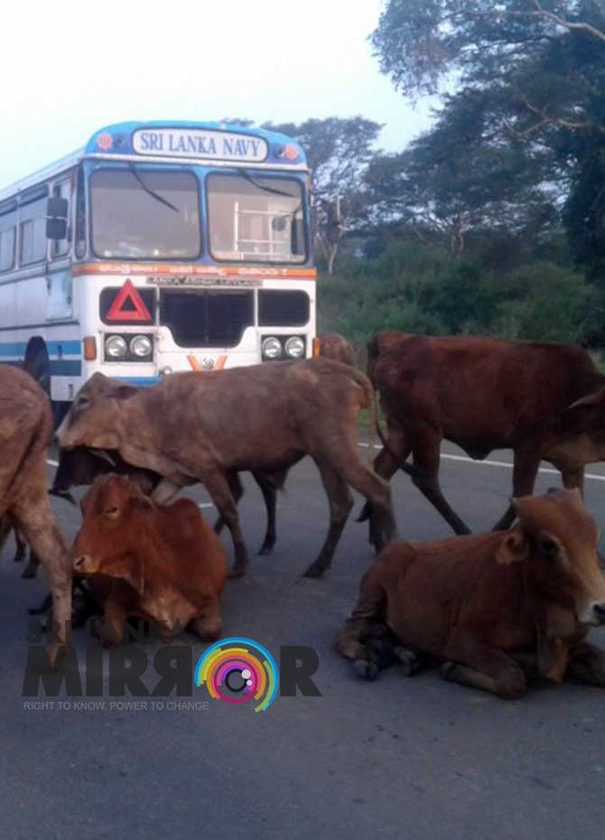 Mannar cattle a burden on the public (Pics)