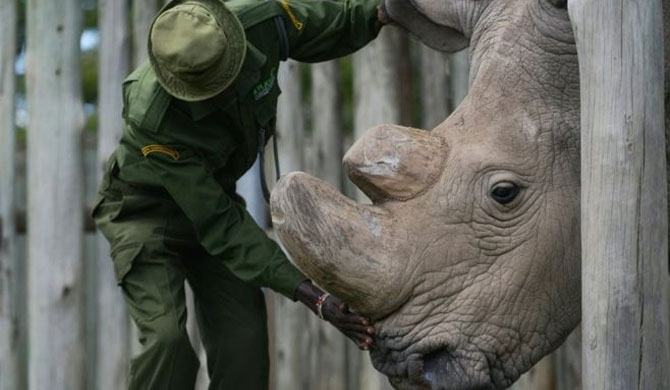 Last male northern white rhino, dies