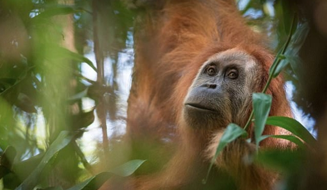 New orangutan species found (Video)