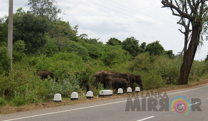 Elephant crossing in Mullaitivu holds up traffic (Pics)