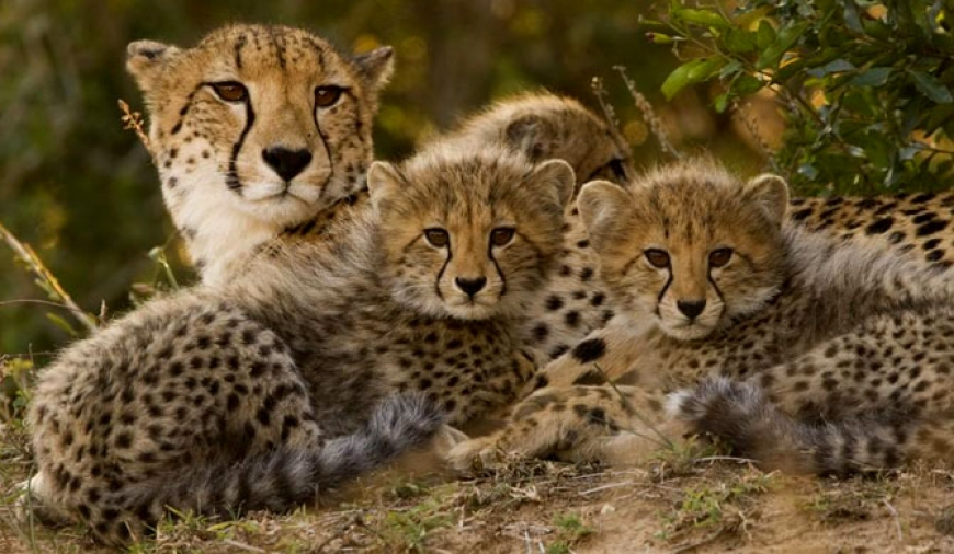 Cheetahs face extinction