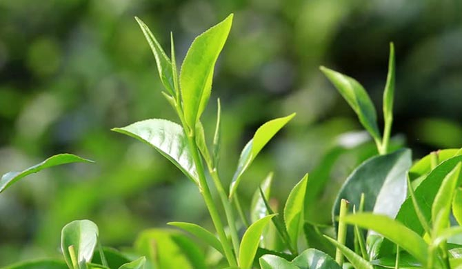 SL suspends export tax on tea for 6-months